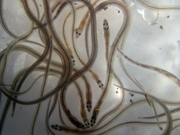European Eel Consultancy