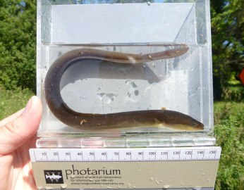Yellow eel captured by electrofishing