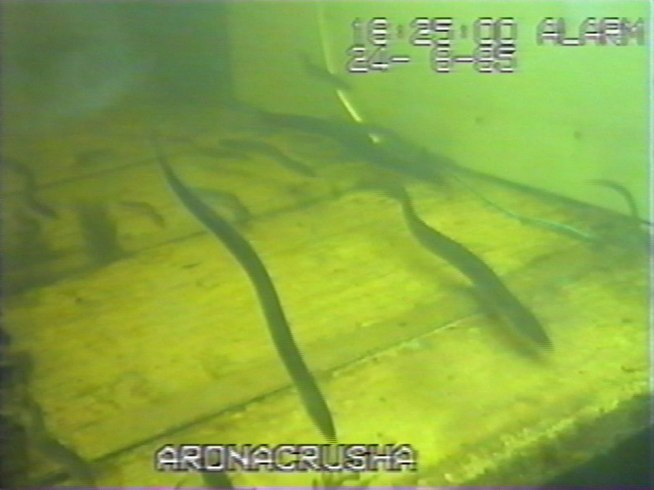 'Bootlace' eels ascending though Ardnacrusha