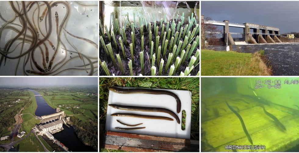 Biology and Management of European Eel (Anguilla anguilla, L) in the Shannon Estuary, Ireland