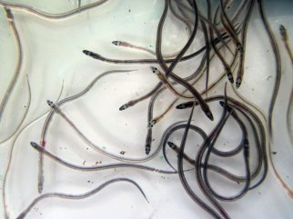 Glass eels, Shannon estuary, April 2014