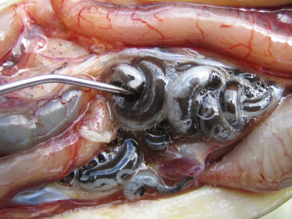 Anguillicoloides crassus in eel body cavity