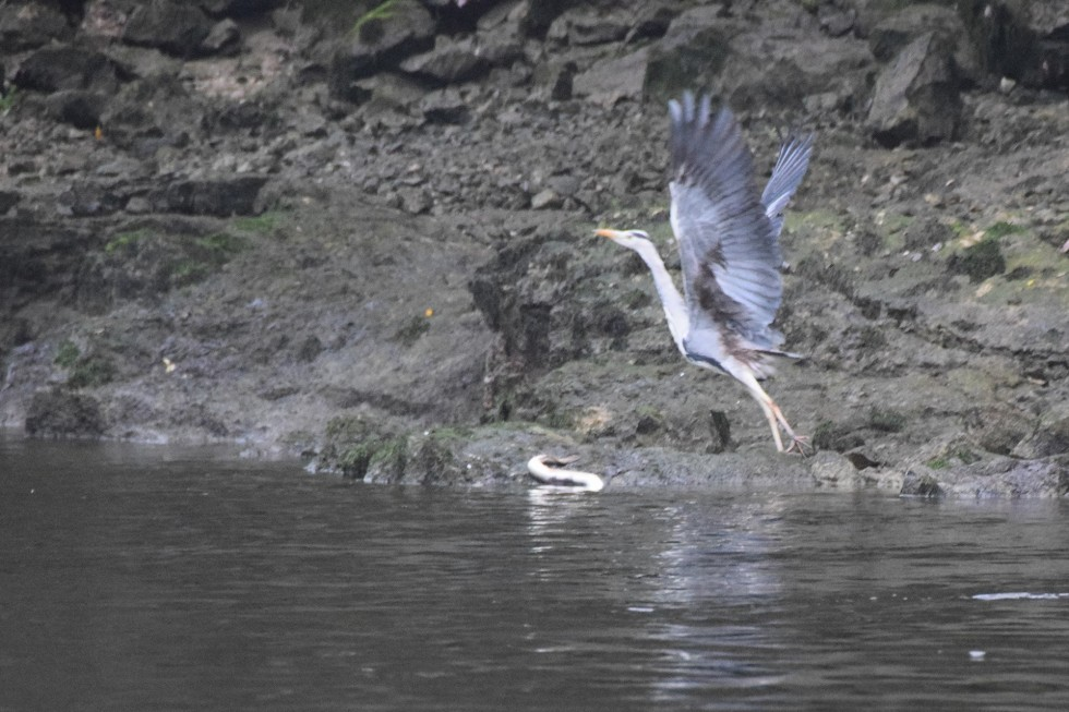 heron-and-silver-eel